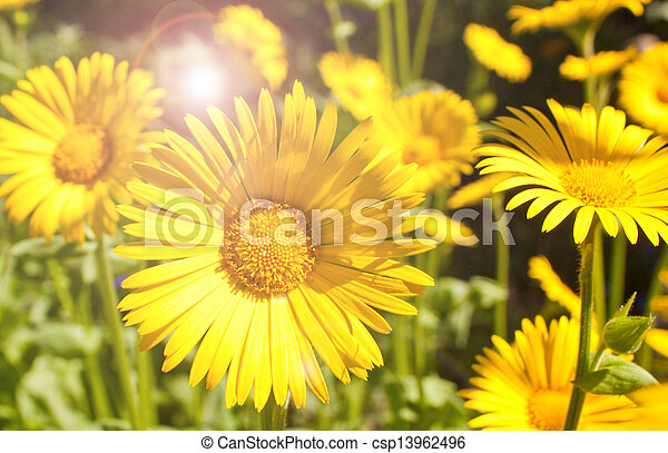 bright yellow summer daisies - csp13962496