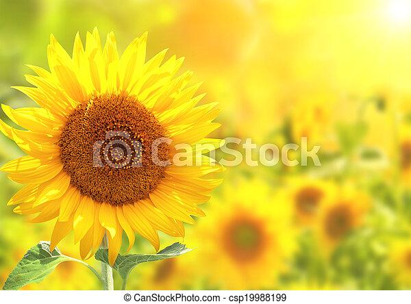 Bright yellow sunflowers - csp19988199