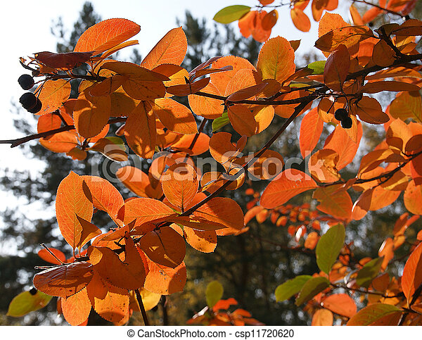 Brightly colored autumn leaves in the light of bright sunshine - csp11720620