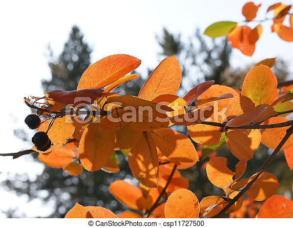Brightly colored autumn leaves in the light of bright sunshine - csp11727500