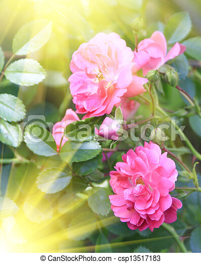 Brightly pink roses across from sunlight  - csp13517183