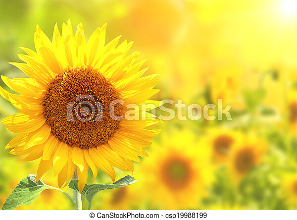 Girasoles amarillos brillantes - csp19988199