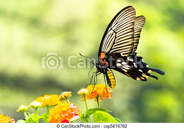 Brilliant swallowtail butterfly feeding on flowers - csp5616762