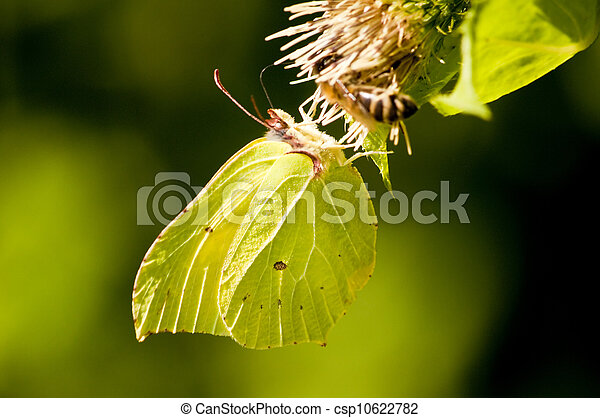 brimstone butterfly, Gonepteryx rhamni - csp10622782