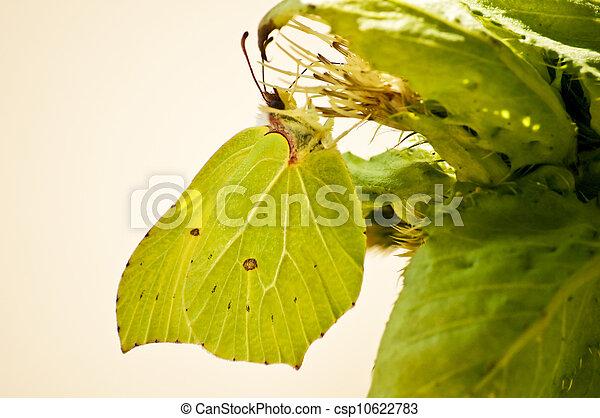 brimstone butterfly, Gonepteryx rhamni - csp10622783