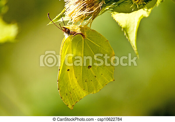 brimstone butterfly, Gonepteryx rhamni - csp10622784