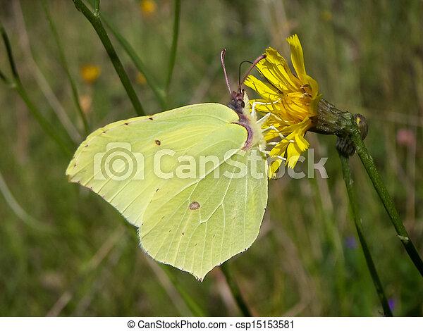 Brimstone butterfly (Gonepteryx rhamni) - csp15153581