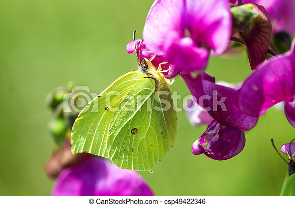 brimstone butterfly, Gonepteryx rhamni on vetch flower - csp49422346