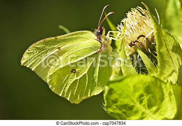 brimstone butterfly, Gonepteryx rhamni - csp7047834
