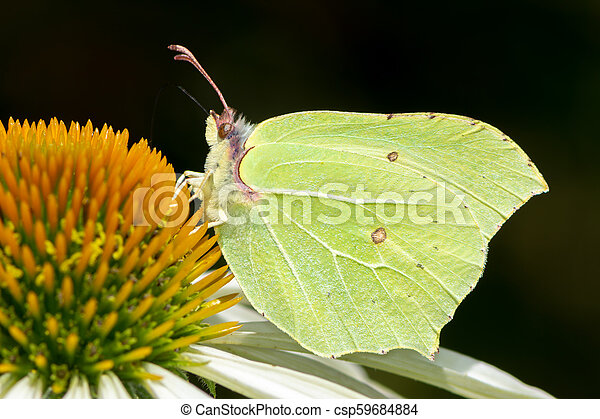 Brimstone butterfly on a echinacea flower blossom - csp59684884