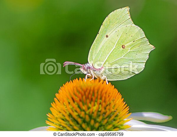 Brimstone butterfly on a echinacea flower blossom - csp59595759