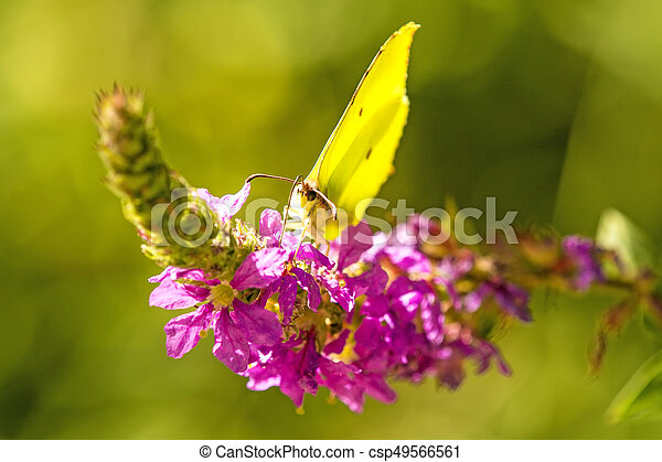brimstone butterfly on a flower of a purple loosestrife - csp49566561