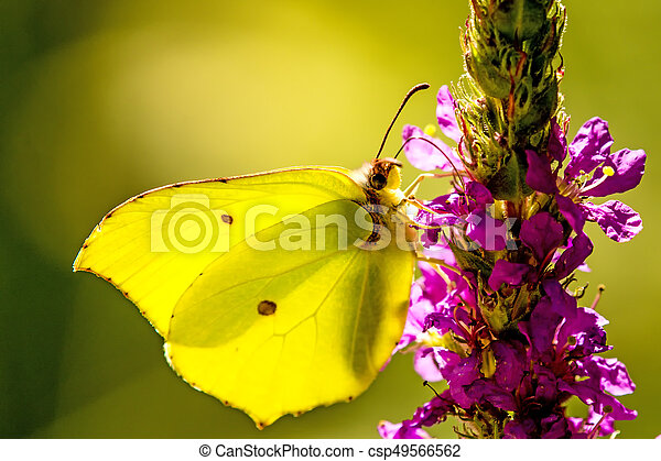 brimstone butterfly on a flower of a purple loosestrife - csp49566562