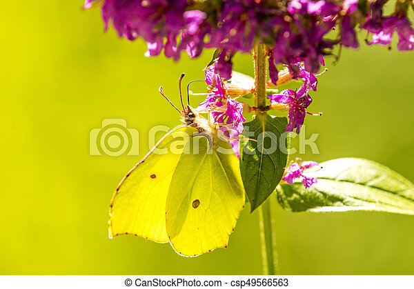 brimstone butterfly on a flower of a purple loosestrife - csp49566563