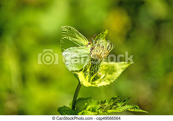 brimstone butterfly on a flower of a cabbage thistle - csp49566564