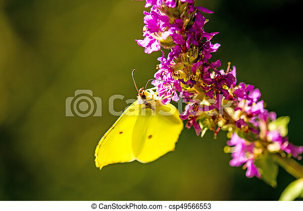 brimstone butterfly on a flower of a purple loosestrife - csp49566553