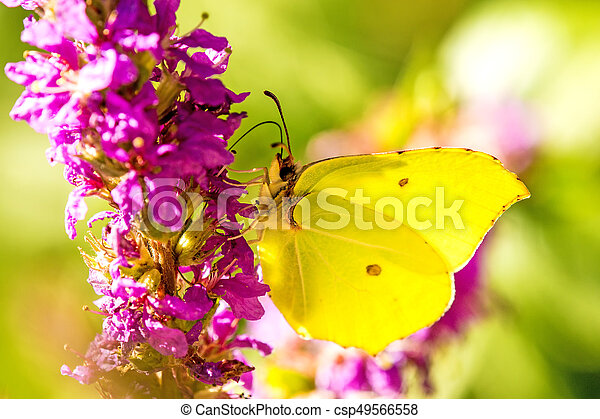 brimstone butterfly on a flower of a purple loosestrife - csp49566558