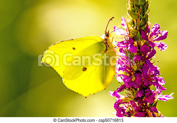brimstone butterfly on a flower of purple loosestrife - csp50716813