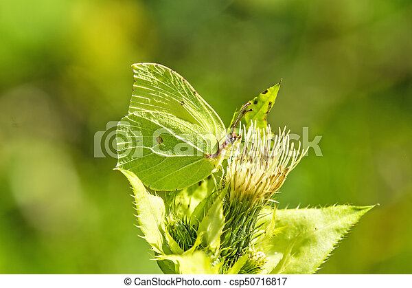 brimstone butterfly on a flower of - csp50716817