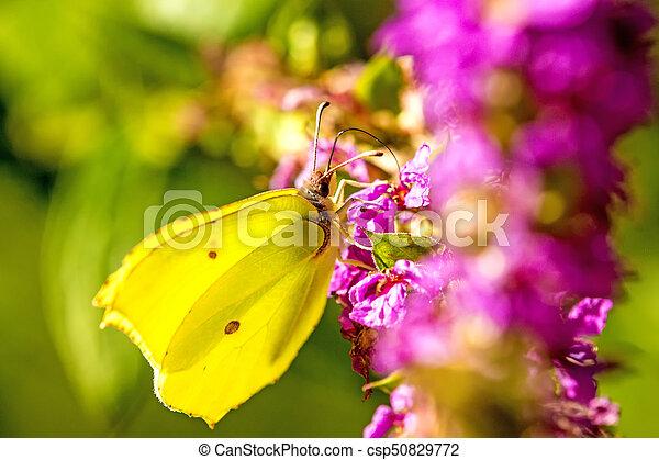 brimstone butterfly on a flower - csp50829772