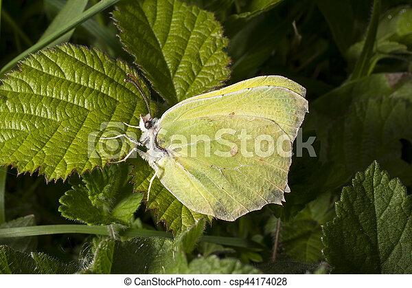 Brimstone butterfly on bramble leaf - csp44174028