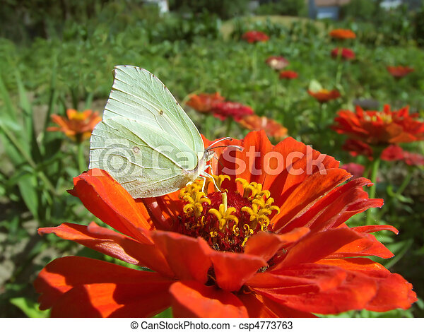 Brimstone butterfly - csp4773763