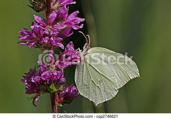 Brimstone, Gonepteryx rhamni - csp2746621