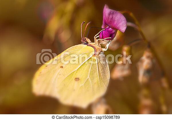 Brimstone - Gonepteryx rhamni - csp15098789
