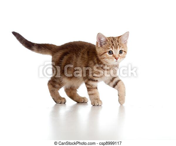 brincalhão, breed., brittish, tabby., kitten. - csp8999117