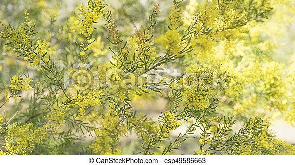 brisbane, panorama, canisse, arbre, australien, acacia, indigène - csp49586663