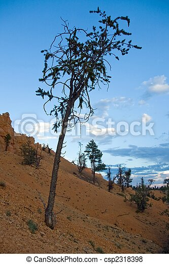Bristlecone A Spindly Bristlecone Pine Tree On A Slope Of Reddish Rock