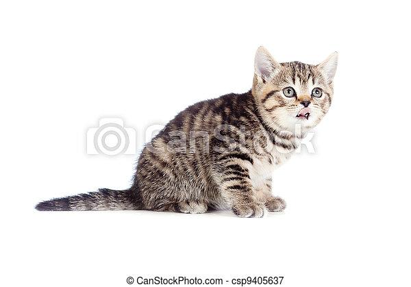 British kitten showing tongue isolated - csp9405637