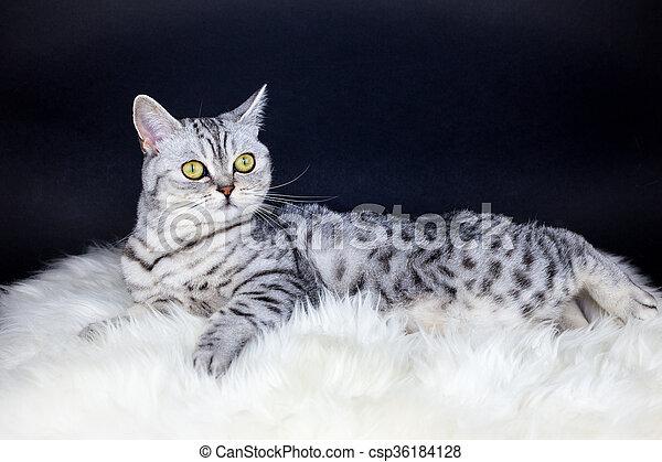 british short hair silver tabby cat lying on sheepskin british