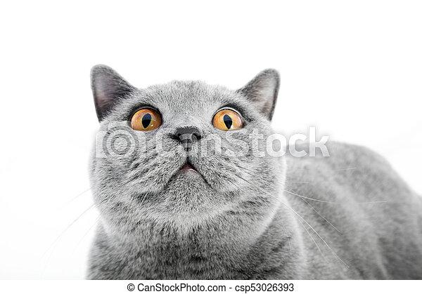 British Shorthair cat isolated on white. Surprised - csp53026393