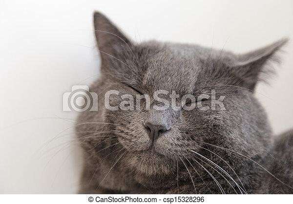 british shorthair cat on window - csp15328296