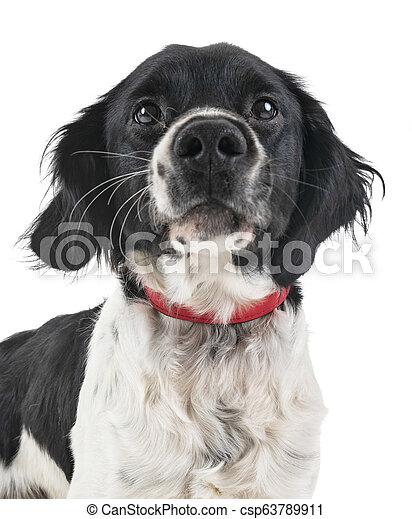 brittany dog in studio - csp63789911