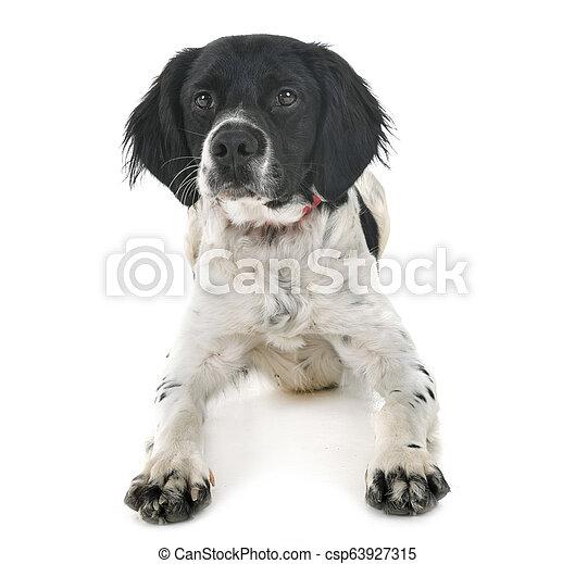 brittany dog in studio - csp63927315