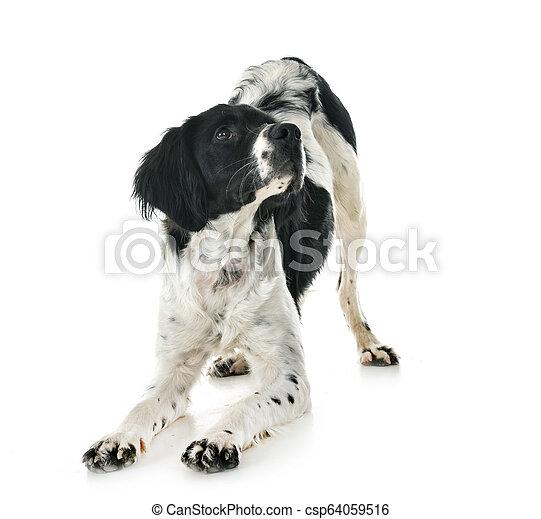 brittany dog in studio - csp64059516