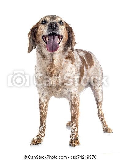 brittany dog in studio - csp74219370