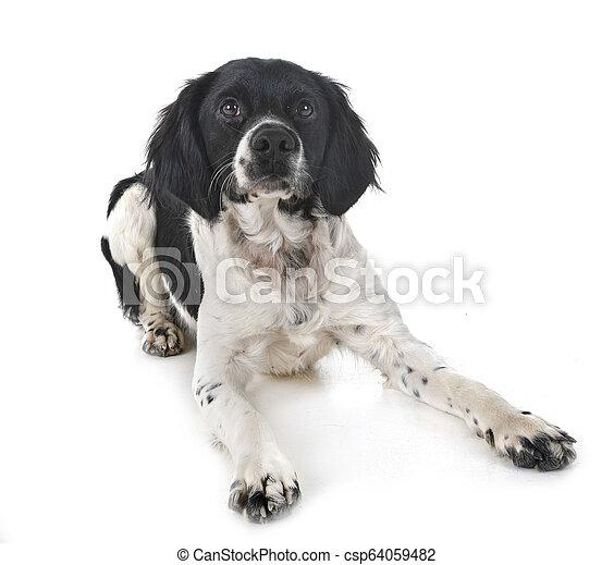 brittany dog in studio - csp64059482