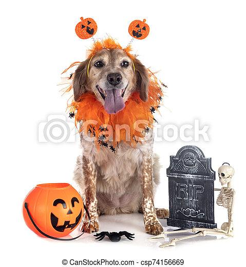 brittany dog in studio - csp74156669