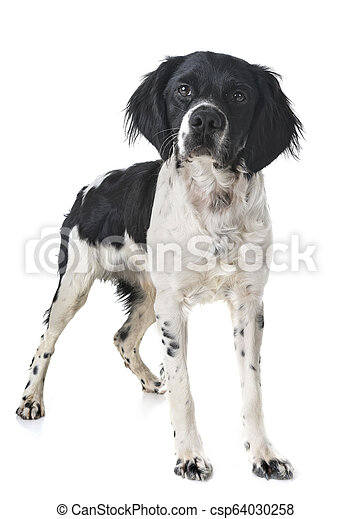 brittany dog in studio - csp64030258