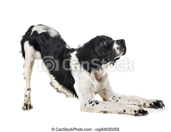 brittany dog in studio - csp64030259