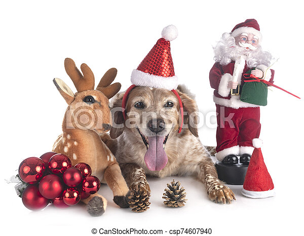 brittany dog in studio - csp74607940