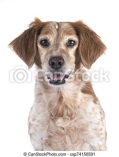 brittany dog in studio - csp74156591