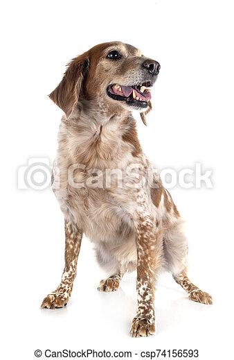 brittany dog in studio - csp74156593