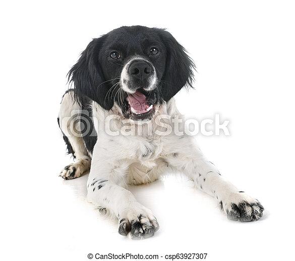 brittany dog in studio - csp63927307