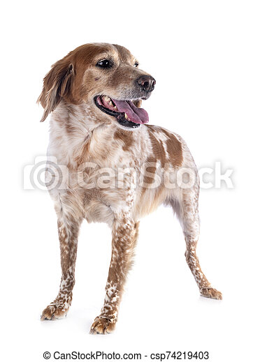 brittany dog in studio - csp74219403