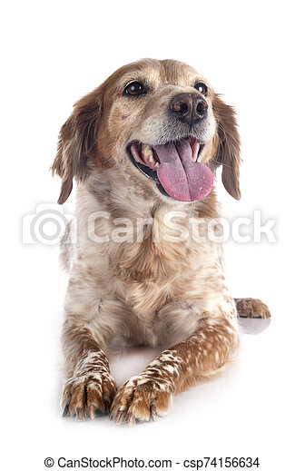 brittany dog in studio - csp74156634