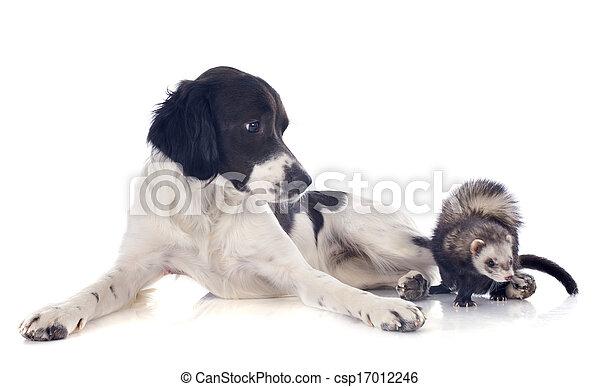 brittany spaniel and ferret - csp17012246